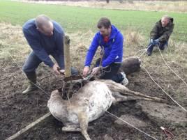 Tommy Larsson, Thony Eriksson och Stig Johansson gör en gemensam insats för att få loss dovhjorten som är intrasslad intill en redan död hjort. Foto: Per Jonson