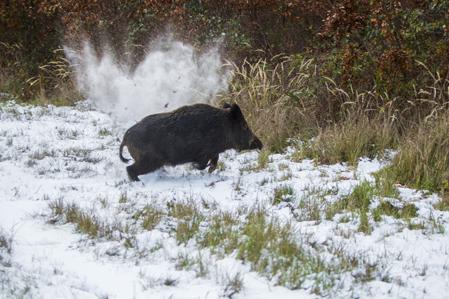 I samma sekund som vildsvinet exponerar sig i i skjutgatan är studsaren på vägs upp i skjutklar ställning och när hårkorset når bogen hörs smällen. Ett genomskott som river upp en kaskad av snö och jord bakom grisen men drygt tjugo meter längre bort ligger den död.