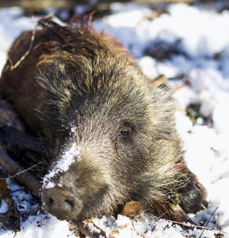 En härlig jaktdag med snö och solsken gjorde vildsvinen väl synliga i passen vilket gav fina chanser till bra skott.