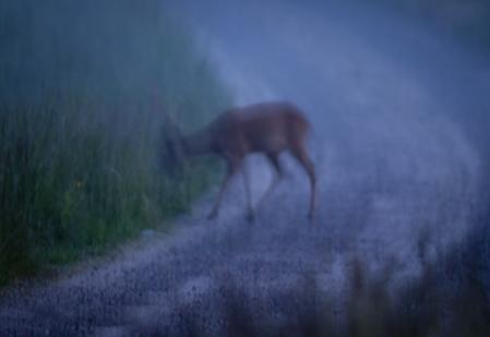 Rådjursolyckorna kostar över en miljard kronor. Foto: Per Jonson.