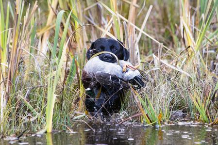 Efter en jakttur med hunden i Sveriges södra hälft finner man i princip alltid fästingar i pälsen på hunden.