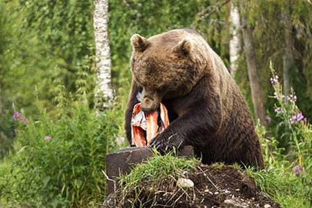 Rovdjursföreningen vill inte att åteljakt på björn införs. Foto: Roger C Åström