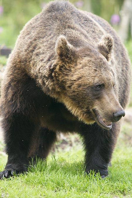 Länsstyrelsen i Jämtland minskar årets björntilldelning med tio djur jämfört med föregående höst.