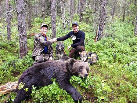 Björnen gjorde allt för att skaka av sig hundarna i den täta planteringen. Men till slut lyckades Jonar Hanssen fälla björnen för Robert Salomonssons hundar, Urak och Frisko.