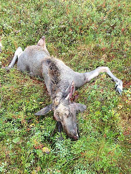Älgkalvarna i Södermanland väger 20-25 procent mindre än kalvar i jämförande områden under hösten