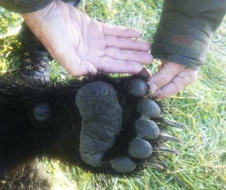 Ramen från en 157 kilo tung hon som sköts 05.20 i Lingbo Jaktlag utanför Ockelbo.
