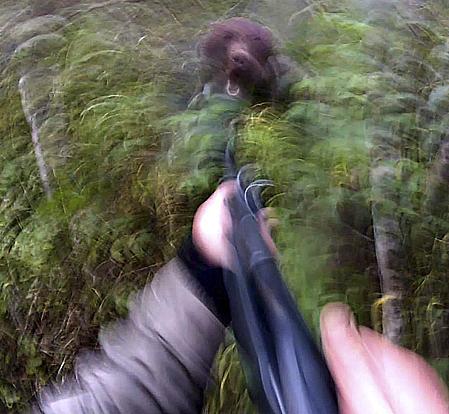 Trots en minskad björntilldelning är intresset inför årets björnjakt mycket stort och björnfrossan tilltar för varje dag. Foto: Rasmus Boström.