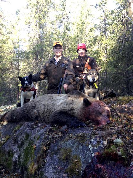 På 15 meters avstånd fällde Samuel Nilsson, Älvsbyn, björnhonan med ett skott i huvudet. Vid sidan stod Robert Salomonsson och filmade den spännande situationen. Foto: Privat.