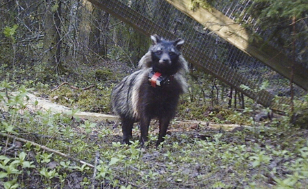 Fynd av mårdhundsvalp förvånar forskare. Foto: P-A Åhlen.
