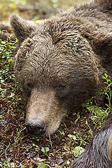 48 björnar finns kvar att fälla i Norrbotten. Foto: Roger C Åström