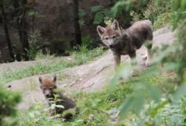 Viltförvaltningsdelegationen i Kronobergs län vill ännu inte besluta kring framtida vargföryngringar i länet. Foto: Naturvårdsverket.