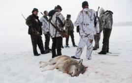 Hur stor vinterns licensjakt på varg ska bli avgörs nu av länsstyrelserna. Foto: Per Jonson.