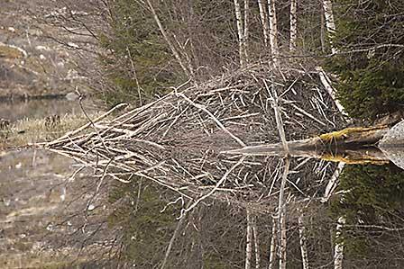 Länsstyrelsen har sagt ja till att fem bäverdammar ska få sprängas i länet. Foto: Roger C Åström
