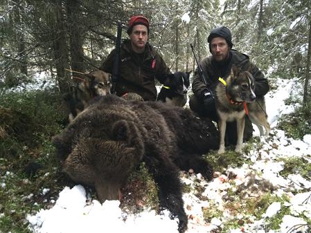 Efter en hel natts eftersök fällde på morgonen Robert Salomonsson den björn som i går attackerade en hundförare. Här med björnjaktskompisen Martin Ottosson, Åsele och hundarna Urak, Pelton och Frisko.