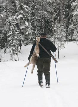 Nu har Naturvårdsverket spikat föreskrifterna kring licensjakten på lodjur. Foto: Per Jonson