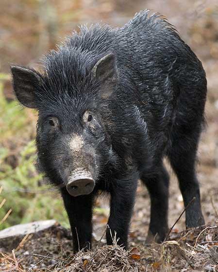 Länsstyrelsen i Blekinge godkänner jakt med elektronisk bildförstärkare och rörlig belysnng vid jatkt efter vildsvin. Foto: Roger C Åström