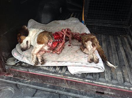 En av de hundar som dödats av varg utanför Årjäng nu i höst. Foto: Privat