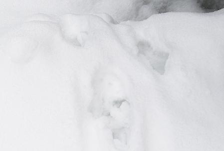 Lospår i snön som observeras under jakten bör rapporteras in till skandobs eller rovobs enligt Jägarnas Riksförbund. Foto: Per Jonson