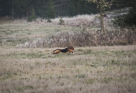 Passa på att starta din stövare på jaktprov om du är under 25 år. Foto: Per Jonson