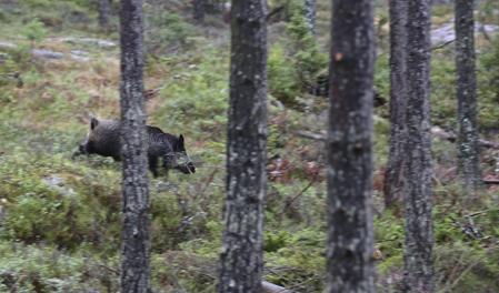 De småländska vildsvinen får en tuff dag i morgon. Svenska Laikaklubbens vildsvinsmästerskap har lockat sex riktigt duktiga hundar till start.