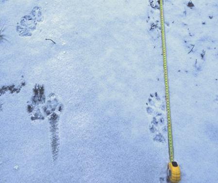 Spår av två vargar som gått ihop syns i den lilla spårsnö som fallit runt Järna. Foto: Länsstyrelsen.