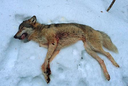 En av helgens skjutna vargar. Den här fälldes i Gårdjöreviret. Foto: Privat
