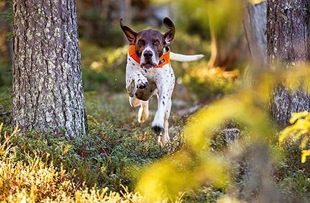 Compis anpassar sitt sök efter förhållandena. På fjället söker han stort, men i skogen behöver Martin aldrig använda vare sig pejl eller pingla för att hålla reda på sin hund.