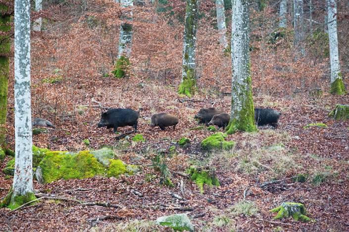 En liten flock vildsvin försöker smita över skjutgatan i söder, men två blir kvar på platsen.