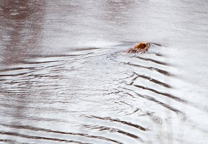 Bäver simmar längs med ån.