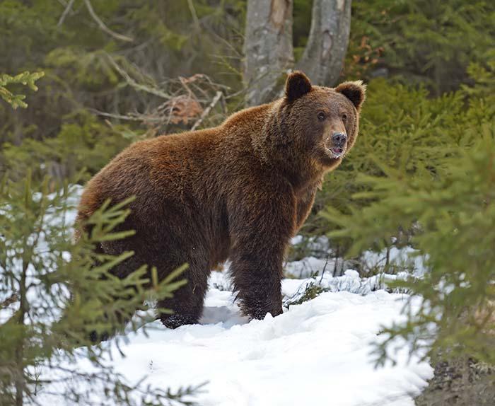 bilder på björnar gratis