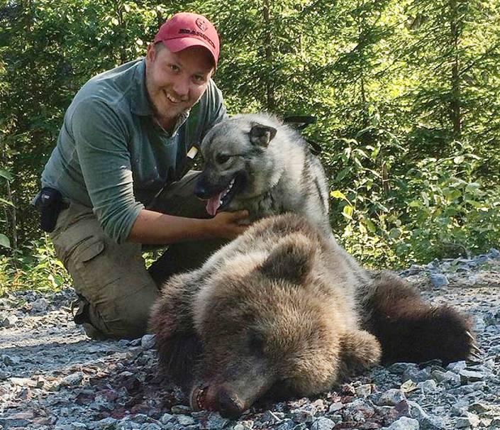 Gråhundstiken Polly vågade spåra fram till björnen som gav henne ett tjuvnyp tidigare under jakten