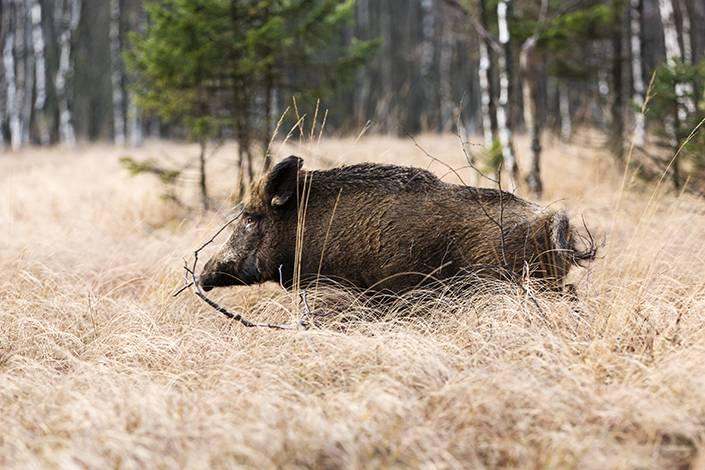 På Sirkön finns det gott om vass och blötmyrar där vildsvinen letar upp torra fläckar för sin daglega.