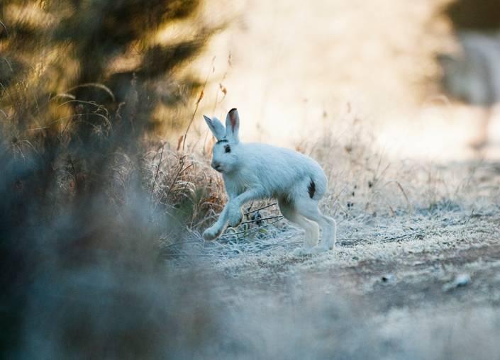 På dagens hare upptäckte gubbarna en skada på baklåret och den blev därför skjutbar.