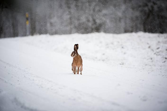 Fältharen kommer springande längsmed vägen, inväntar Morris och gör sedan sitt avhopp.
