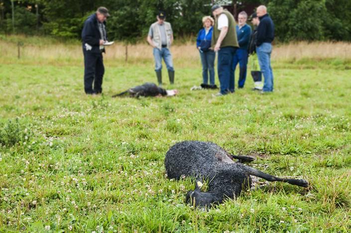Ska vargarna i Sjundareviret få fortsätta döda får frågar sig artikelförfattaren. Arkivfoto: Per Jonson