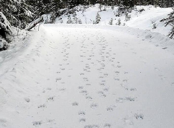 På vägen i fritidsområdet syns färska spår av sju vargar.
