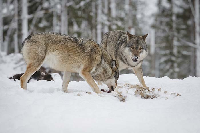 Sex vargar skjutna under jakten