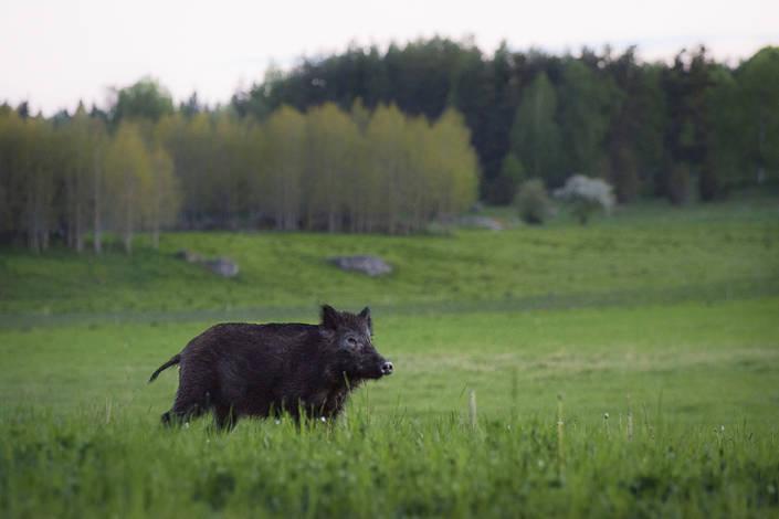 Tidig morgon är också en ypperlig tid att jaga vildsvin. Med rätt vind kan du komma riktigt nära.