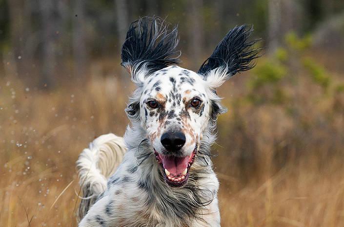 Oliver har ett mycket snabbt och vägvinnande sök, både i skogen och på fjället.