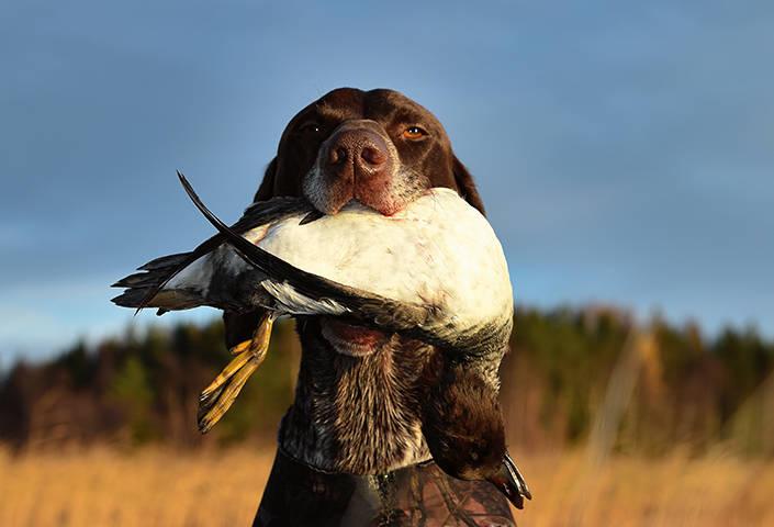 Vorstehn Snoddas fick hämta fågeln under morgonen.