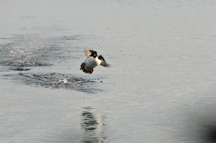 Knipan möts av hagel när den går in för landning och Elins första vilt är ett faktum.