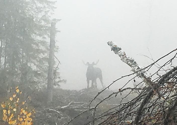 Roger C Åström lyckades fota tjuren när han ropade av Athos från ståndskallet. Athos valde nämligen tjuren istället för ko och kalven när han släpptes på nytt i såten.