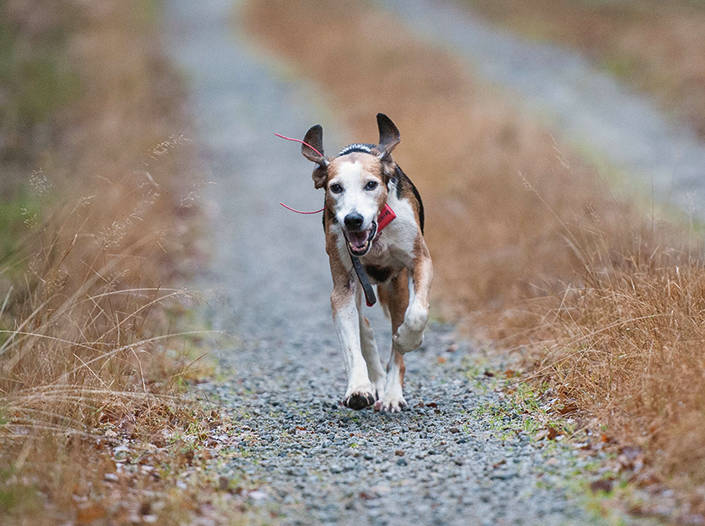 Sin ålder till trots, är Stella fortfarande aktiv som jakthund.