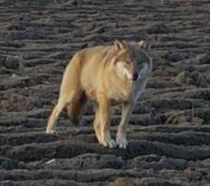 Framifrån ser djuret ut som en varg.