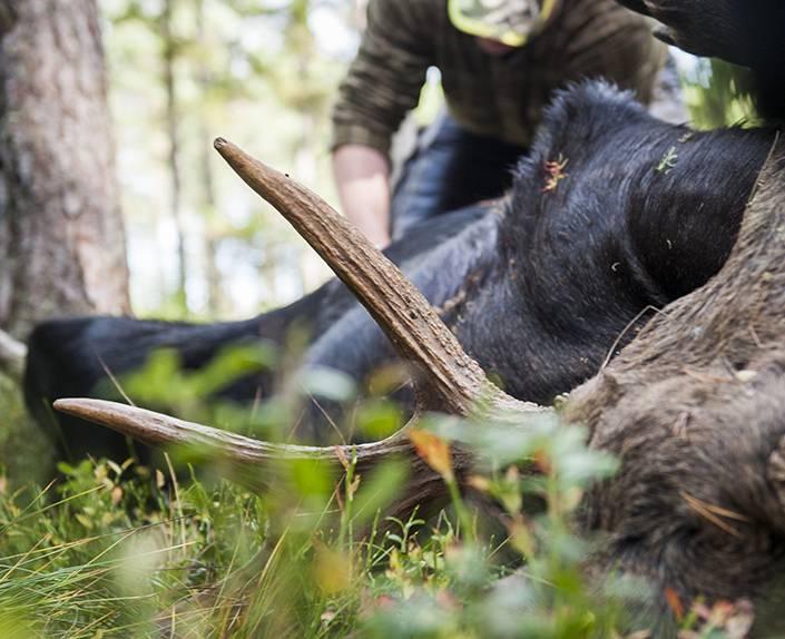 Älgjägarna i Värmland har långt kvar tills tilldelningen är fylld. Foto: Per Jonson