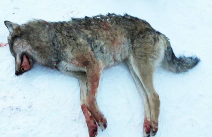 En av de två vargar som fälldes i orsenreviret i går. Foto: Privat
