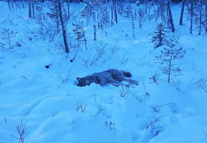 Alla vargar är nu fällda i tre av fyra län och där är jakten avlyst. Foto: Privat
