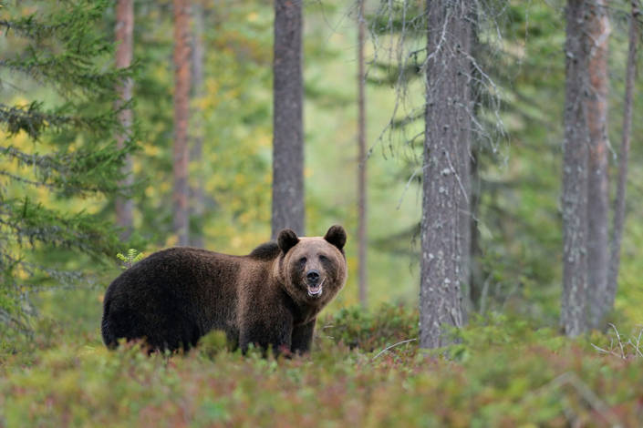 European brown bear deep in the forest in the autumn