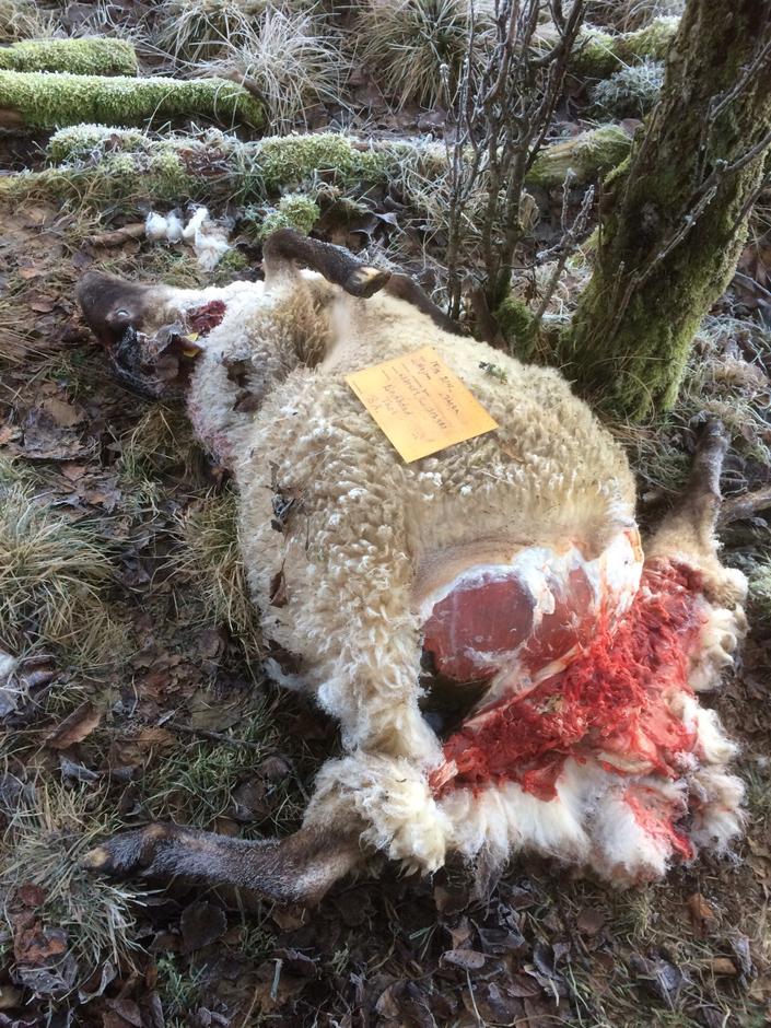 Snart har ett 100-tal får dödats av lodjur i Boråsområdet. Foto: Privat.