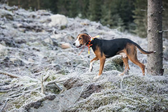 På fredag morgon släpps hundarna på olika provområden för att göra upp om SM-titeln. Foto: Joakim Martinsson.